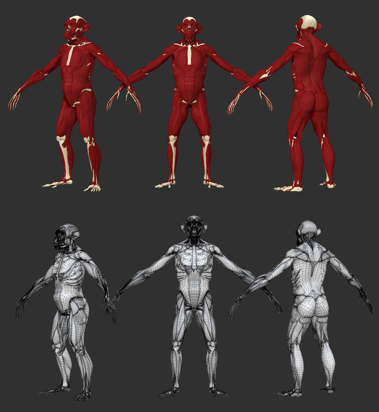 image muscles.jpeg