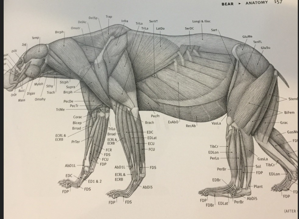 image bear-anatomy.jpeg