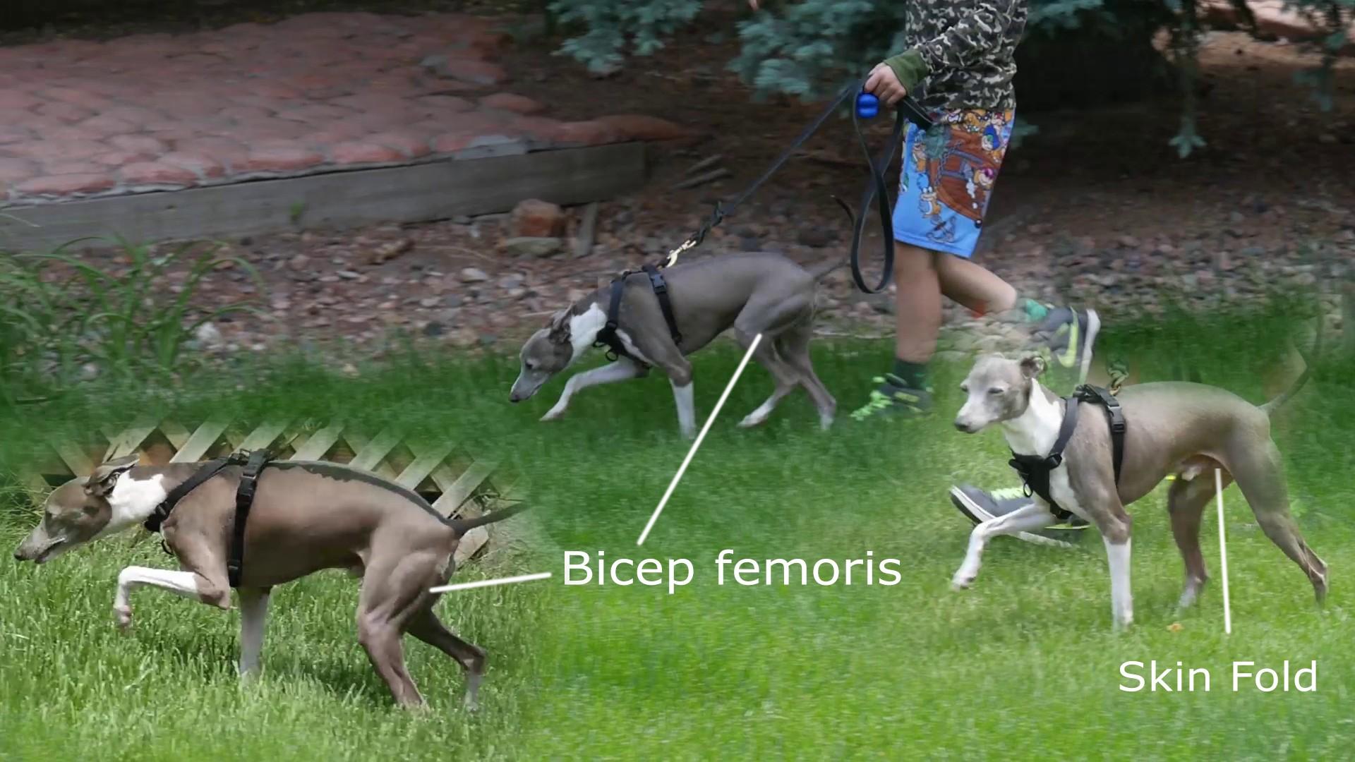 image bicepsfemoris02.jpeg